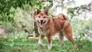 Read more about the article Shiba Inu Gets Listed on Binance and FTX After Price Skyrockets