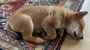Read more about the article Elon Musk's New Puppy Tweet Sends Shiba Floki Token Soaring, FLOKI Jumps More Than 900% in 24 Hours